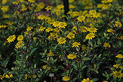 Sunvy Super Gold Creeping Zinnia (Sanvitalia procumbens 'Sunvy Super Gold') at Vandermeer Nursery