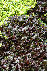 Black Scallop Bugleweed (Ajuga reptans 'Black Scallop') at Vandermeer Nursery