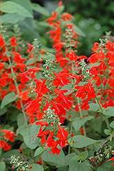 Lady In Red Sage (Salvia coccinea 'Lady In Red') at Vandermeer Nursery