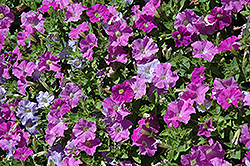 Picobella Light Lavender Petunia (Petunia 'Picobella Light Lavender') at Vandermeer Nursery