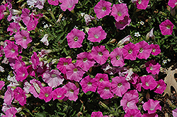 Shock Wave Pink Shades Petunia (Petunia 'Shock Wave Pink Shades') at Vandermeer Nursery