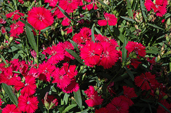 Telstar Carmine Rose Pinks (Dianthus 'Telstar Carmine Rose') at Vandermeer Nursery