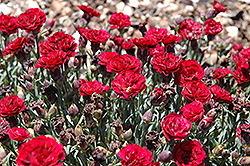 SuperTrouper™ Butterfly Dark Red Carnation (Dianthus caryophyllus 'SuperTrouper Butterfly Dark Red') at Vandermeer Nursery