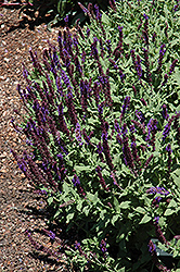 Burgundy Candles Meadow Sage (Salvia nemorosa 'Burgundy Candles') at Vandermeer Nursery