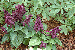 Vista™ Purple Sage (Salvia splendens 'PAS3292') at Vandermeer Nursery