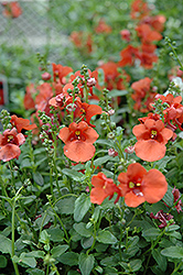 Juliet Orange Twinspur (Diascia 'Juliet Orange') at Vandermeer Nursery