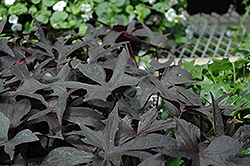 Blackie Sweet Potato Vine (Ipomoea batatas 'Blackie') at Vandermeer Nursery