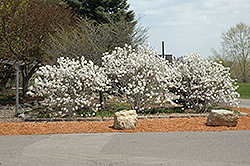 Royal Star Magnolia (Magnolia stellata 'Royal Star') at Vandermeer Nursery
