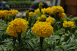 Safari Yellow Marigold (Tagetes patula 'Safari Yellow') at Vandermeer Nursery