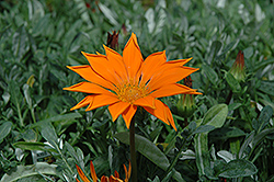 New Day Clear Orange Gazania (Gazania 'New Day Clear Orange') at Vandermeer Nursery