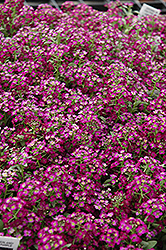 Wonderland Deep Purple Sweet Alyssum (Lobularia maritima 'Wonderland Deep Purple') at Vandermeer Nursery