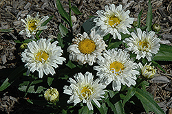 Freak! Shasta Daisy (Leucanthemum x superbum 'Freak!') at Vandermeer Nursery