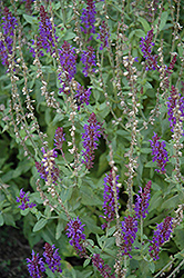 Lyrical Blues Meadow Sage (Salvia nemorosa 'Lyrical Blues') at Vandermeer Nursery