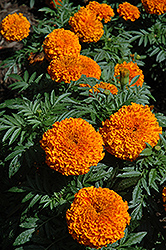 Moonsong Deep Orange Marigold (Tagetes erecta 'Moonsong Deep Orange') at Vandermeer Nursery