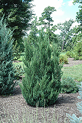 Blue Point Juniper (Juniperus chinensis 'Blue Point') at Vandermeer Nursery