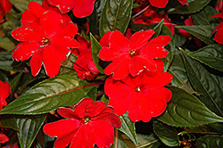 Florific Red New Guinea Impatiens (Impatiens hawkeri 'Florific Red') at Vandermeer Nursery