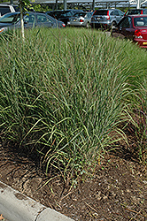 Ruby Ribbons Switch Grass (Panicum virgatum 'Ruby Ribbons') at Vandermeer Nursery