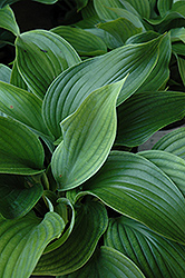 Komodo Dragon Hosta (Hosta 'Komodo Dragon') at Vandermeer Nursery