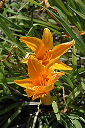 Burning Daylight Daylily (Hemerocallis 'Burning Daylight') at Vandermeer Nursery