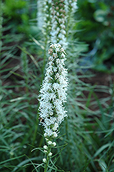 White Blazing Star (Liatris spicata 'Alba') at Vandermeer Nursery