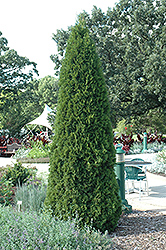 Emerald Green Arborvitae (Thuja occidentalis 'Smaragd') at Vandermeer Nursery