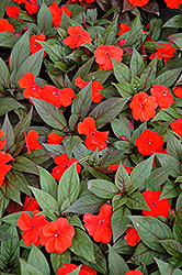 Divine™ Orange Bronze Leaf New Guinea Impatiens (Impatiens hawkeri 'Divine Orange Bronze Leaf') at Vandermeer Nursery