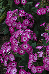 Purple Eye Flame Garden Phlox (Phlox paniculata 'Barthirtythree') at Vandermeer Nursery
