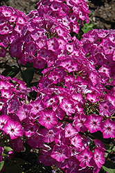Early Start™ Purple Garden Phlox (Phlox paniculata 'Early Start Purple') at Vandermeer Nursery