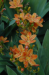 Freckle Face Blackberry Lily (Iris domestica 'Freckle Face') at Vandermeer Nursery