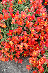 Candy Showers Orange Snapdragon (Antirrhinum majus 'Candy Showers Orange') at Vandermeer Nursery