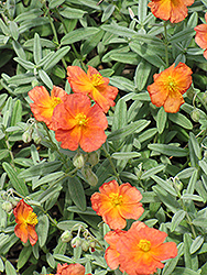 Fire Dragon Rock Rose (Helianthemum 'Fire Dragon') at Vandermeer Nursery
