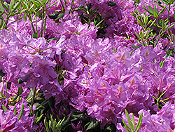 Lee's Dark Purple Rhododendron (Rhododendron catawbiense 'Lee's Dark Purple') at Vandermeer Nursery