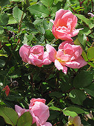 Rainbow Knock Out® Rose (Rosa 'Radcor') at Vandermeer Nursery