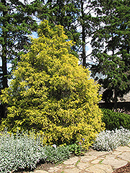 Golden Threadleaf Falsecypress (Chamaecyparis pisifera 'Filifera Aurea') at Vandermeer Nursery