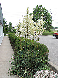 Adam's Needle (Yucca filamentosa) at Vandermeer Nursery