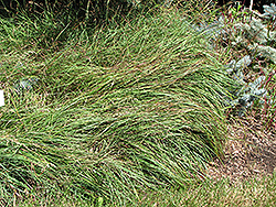 Blue Sedge (Carex flacca) at Vandermeer Nursery
