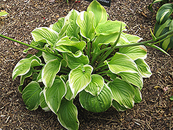 Fragrant Bouquet Hosta (Hosta 'Fragrant Bouquet') at Vandermeer Nursery
