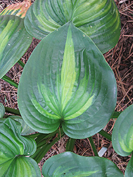 Avocado Hosta (Hosta 'Avocado') at Vandermeer Nursery