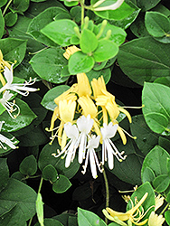 Hall's Japanese Honeysuckle (Lonicera japonica 'Halliana') at Vandermeer Nursery