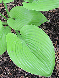 Sum and Substance Hosta (Hosta 'Sum and Substance') at Vandermeer Nursery
