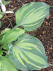 Lakeside Paisley Print Hosta (Hosta 'Lakeside Paisley Print') at Vandermeer Nursery