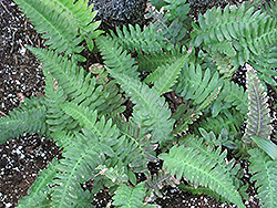 Rabbit's Foot Fern (Polypodium aureum) at Vandermeer Nursery