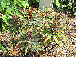Blackbird Evergreen Spurge (Euphorbia 'Nothowlee') at Vandermeer Nursery
