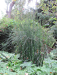 Horsetail (Equisetum hyemale) at Vandermeer Nursery