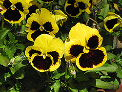 Delta™ Yellow With Blotch Pansy (Viola x wittrockiana 'Delta Yellow With Blotch') at Vandermeer Nursery