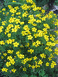 Lemon Gem Marigold (Tagetes tenuifolia 'Lemon Gem') at Vandermeer Nursery