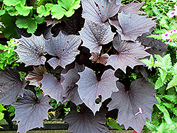 Sweet Caroline Bewitched Purple Sweet Potato Vine (Ipomoea batatas 'Sweet Caroline Bewitched Purple') at Vandermeer Nursery