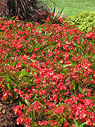 Dragon Wing Red Begonia (Begonia 'Dragon Wing Red') at Vandermeer Nursery