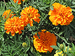 Orange Boy Marigold (Tagetes patula 'Orange Boy') at Vandermeer Nursery
