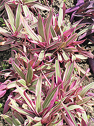 Variegated Moses In The Cradle (Tradescantia spathacea 'Variegata') at Vandermeer Nursery